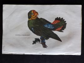 Brightly 1815 Antique Hand Col Bird Print. Guinea Parakeet